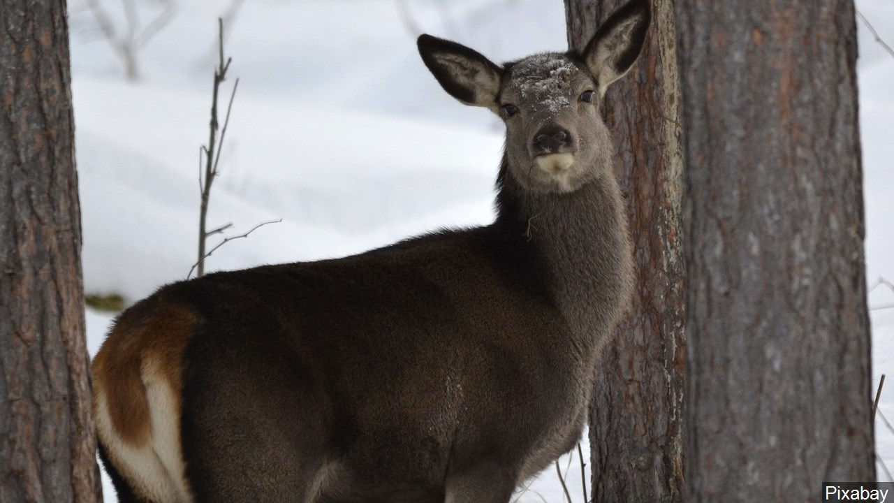 deer_1490376451803.jpg