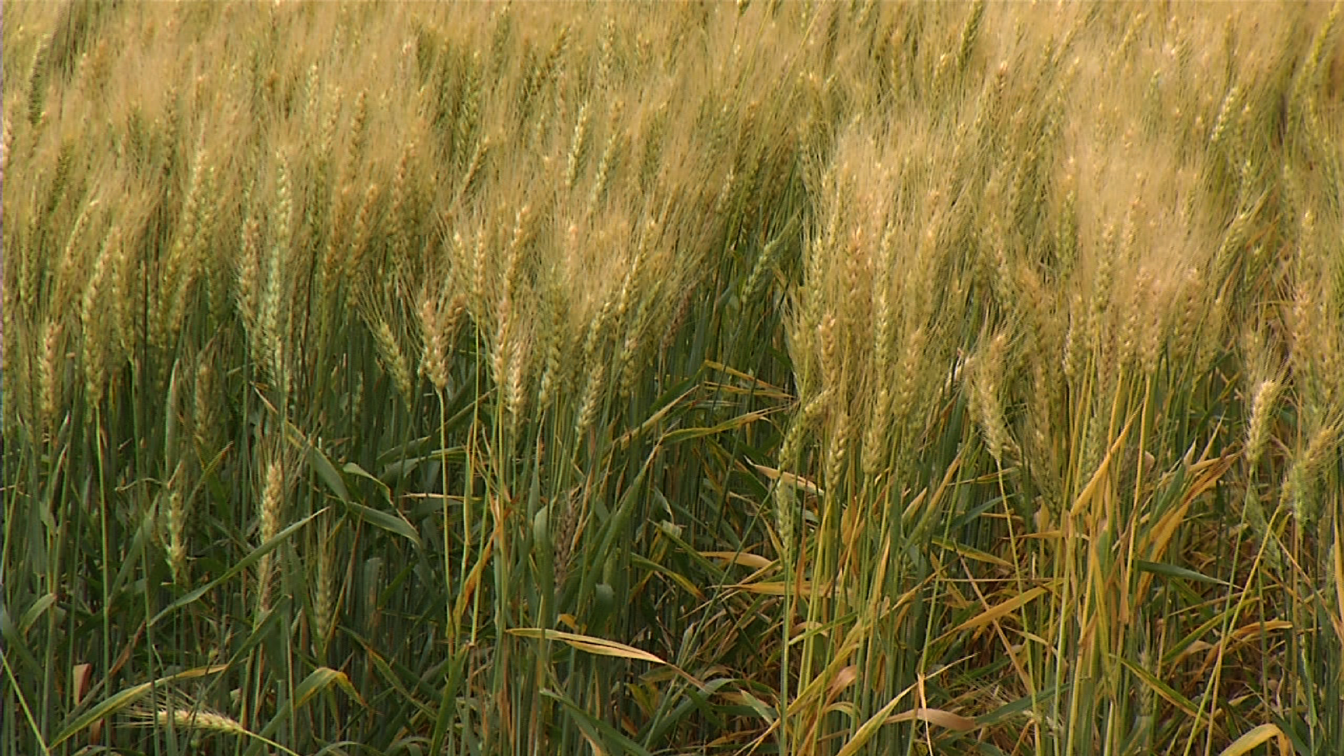 WHEAT TOP_1491022944100.png
