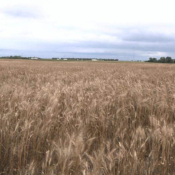 Wheat Field_1519086323847.png.jpg