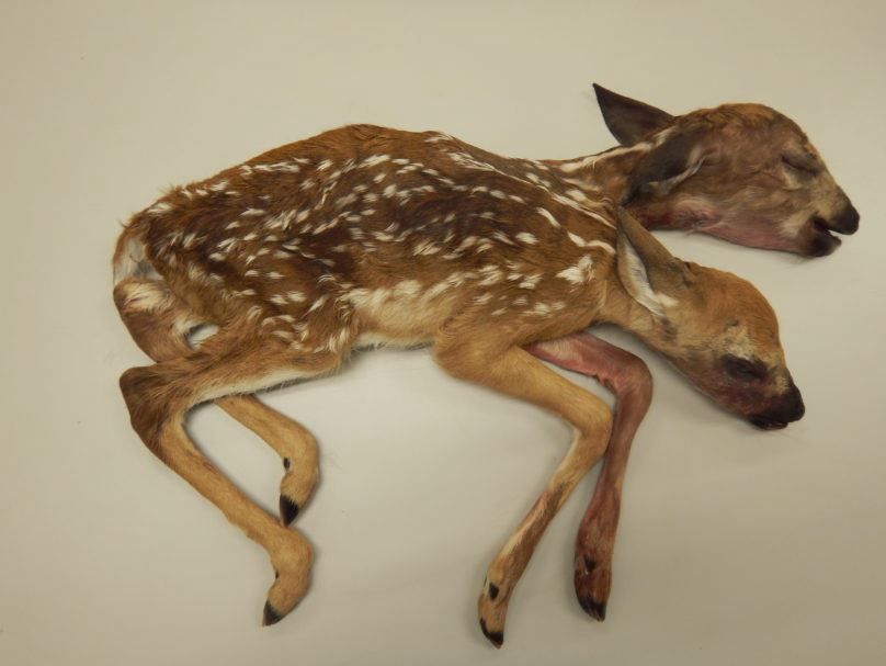 two-headed-deer_1525978667073.jpg