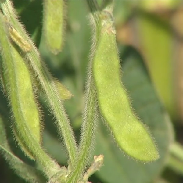 Soybeans_0_20180404221605