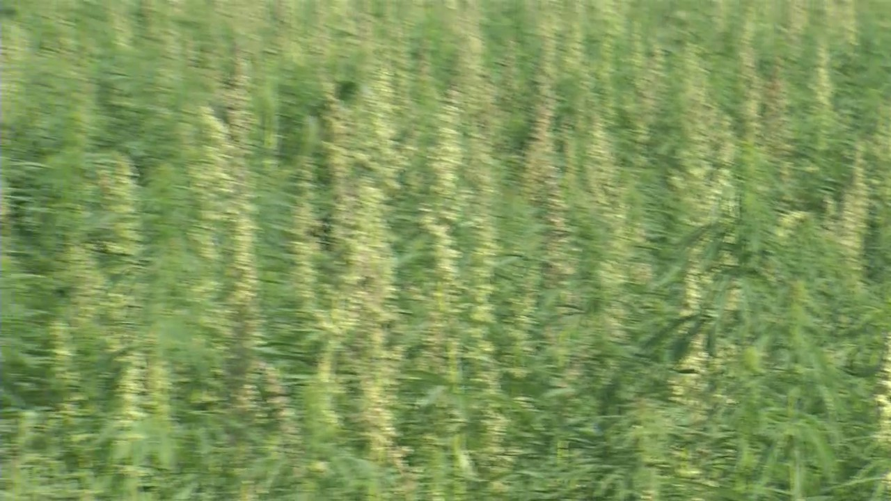 Hemp Farming is Growing Among North Dakota Farmers