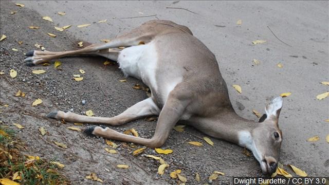 dead_deer_mgn_640x360_70623P00-VPTQY_1539371306448.jpg