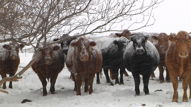 cattle in snow_1550527972536.JPG.jpg