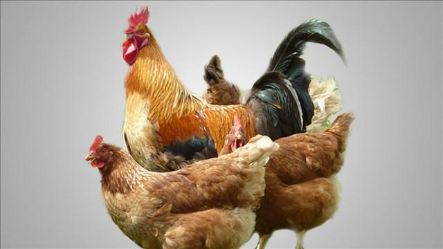 chickens_mgn_50114E00-TMINT_1550680283627.jpg