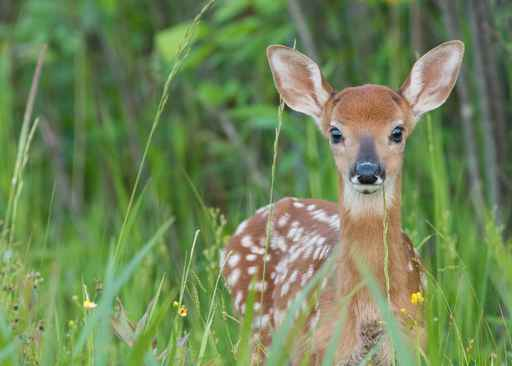 Whitetail fawn in the grass_1556306056711