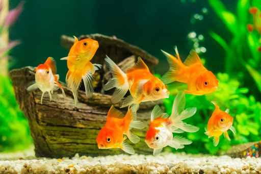 Goldfish in aquarium with green plants_1554748109304